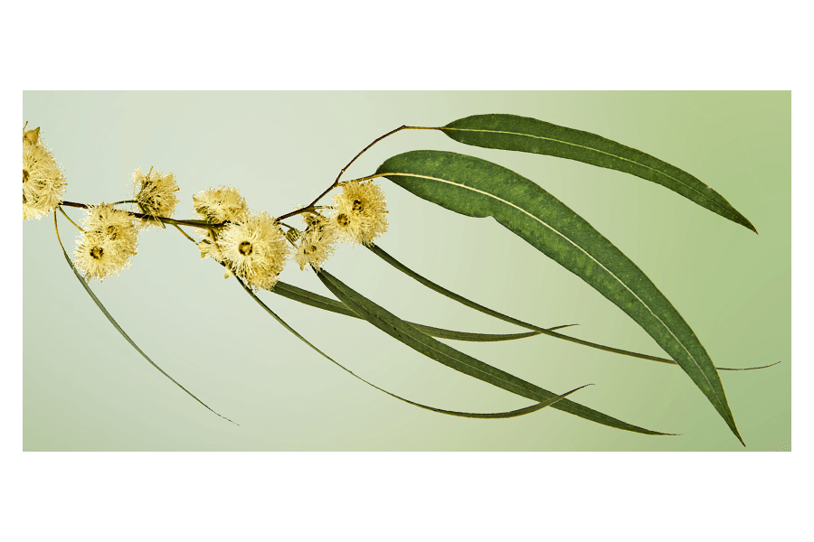 Snus Geschmack Teil 5 - Eukalyptus